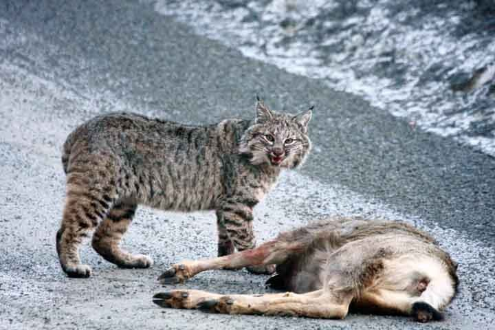 Photo Credit: http://www.ingramwildlife.com/bobcat-deer3.jpg