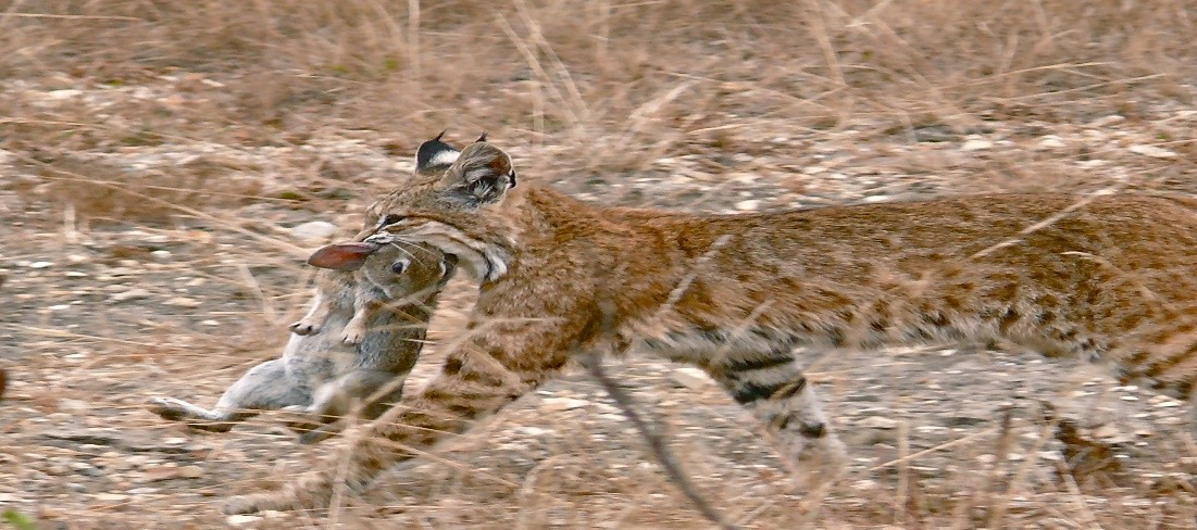 Photo Credit: https://upload.wikimedia.org/wikipedia/commons/e/ed/Bobcat_having_caught_a_rabbit.jpg