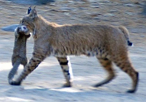 Photo Credit: http://www.seeyosemite.com/images/bobcat-carrying-squirrel.jpg
